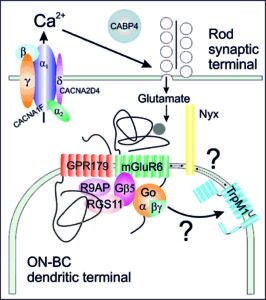 Signaling cascade of ON-bipolar cells.