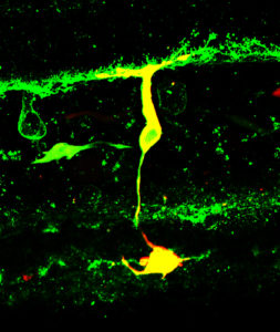 Mixed input biolar cell filled with Lucifer Yellow (yellow). The green label is staingen with an antibody against PKC